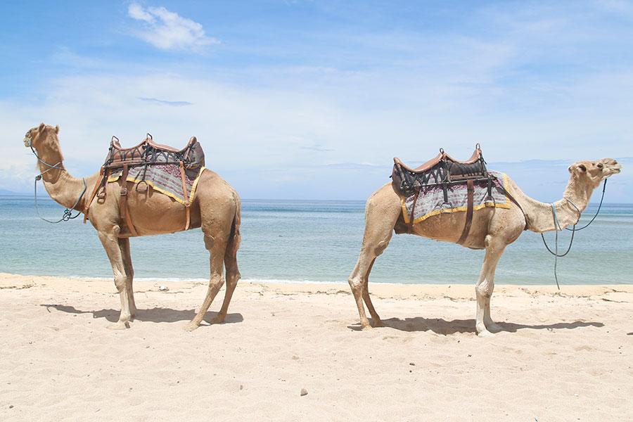 bali camel photo session, camel safari, hilton nusa dua