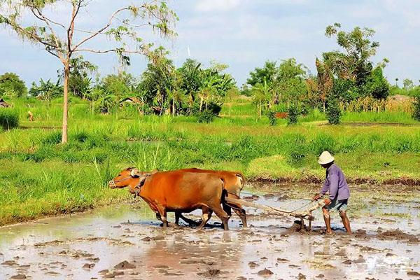 traditional balinese, subak bali, plowing the field