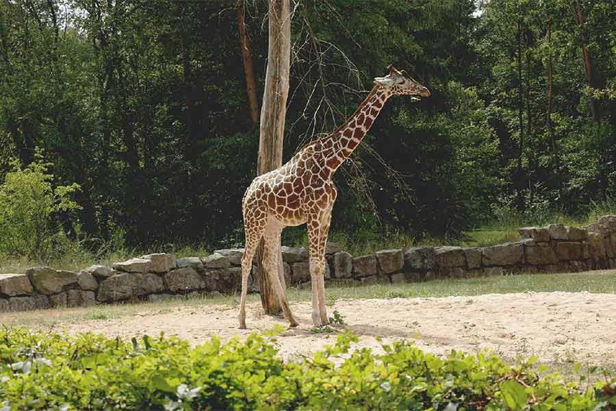 giraffe at bali safari park