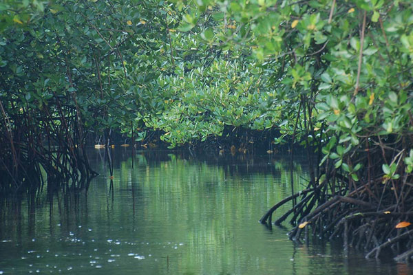 Mangrove forest tour in Lembongan Island