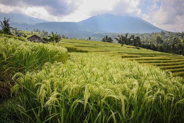 rice field, jatiluwih