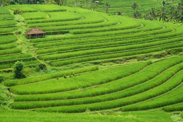 rice terrace, jatiluwih