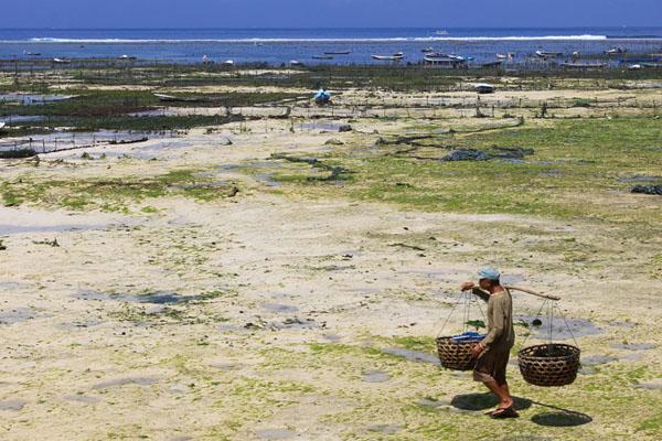 seaweed farmer, nusa lembongan