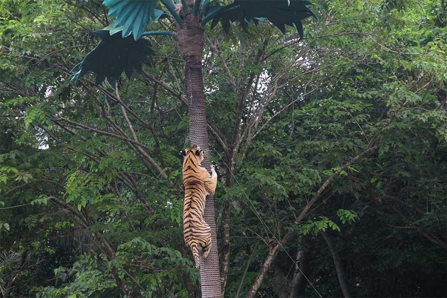 tiger bali safari, harimau show, leopard package